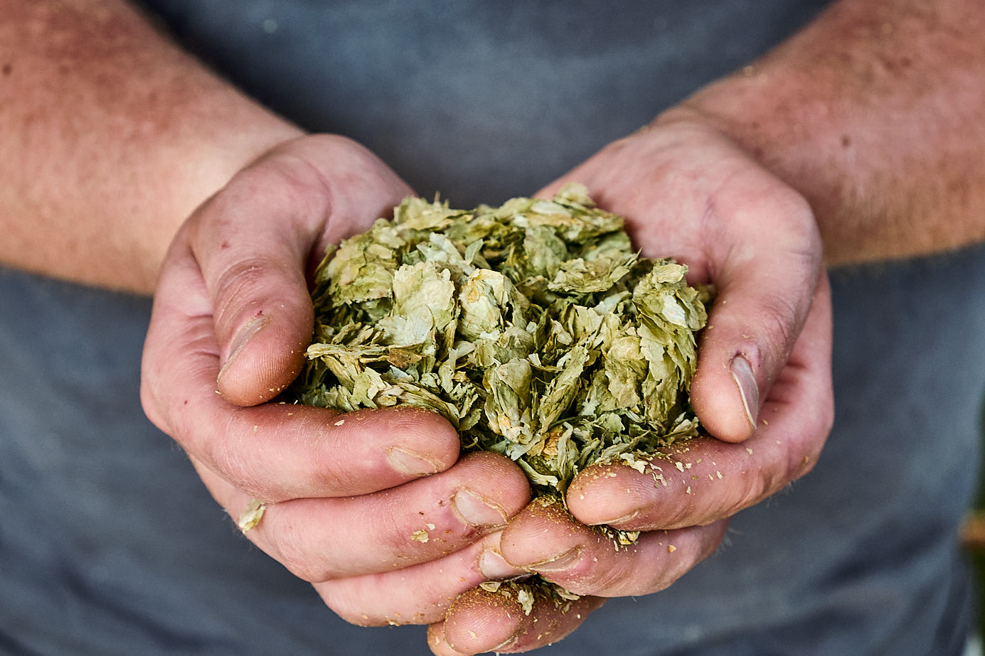 A brewery holds dried hops in his hands at a craft brewery in Bristol, UK